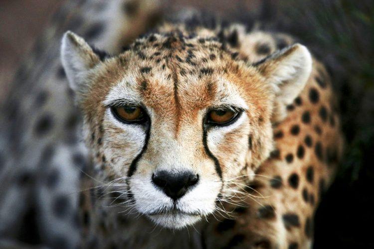 cheetah-ap.jpg