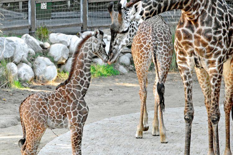 Baby-Giraffe-With-Mom-12-9-14-by-Tad-Motoyama.jpg
